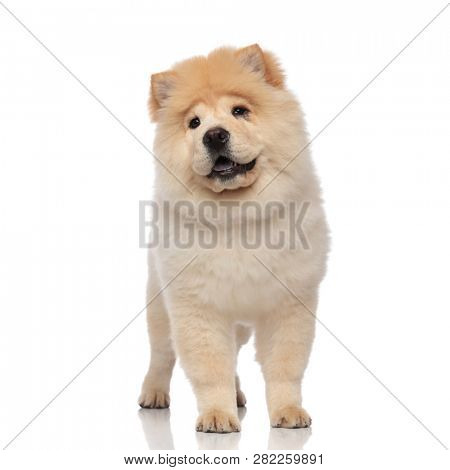 furry chow chow with blue tongue exposed looks to side while standing on white background poster
