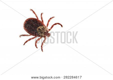 Dermacentor Reticulatus, Also Known As The Ornate Cow Tick, Ornate Dog Tick, Meadow Tick And Marsh T