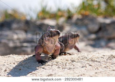 animal, fauna and nature concept - two exuma island iguanas in the bahamas