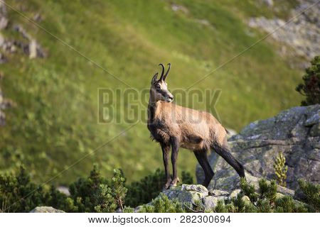 Chamois , Kamzik ( Rupicapra Rupicapra ) , Species Of Goat-antelope In Tatra Mountains In The Natura