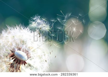 Dandelion. Close Up Of Dandelion Spores Blowing Away,dandelion Seeds In The Sunlight Blowing Away Ac
