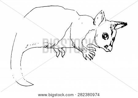 Kuzu, Brush-tailed Tails, Brush-tailed Possums, Brush-tailed Couscous Are The Genus Of Mammals Of Th