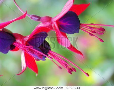 Fuchsias flowers