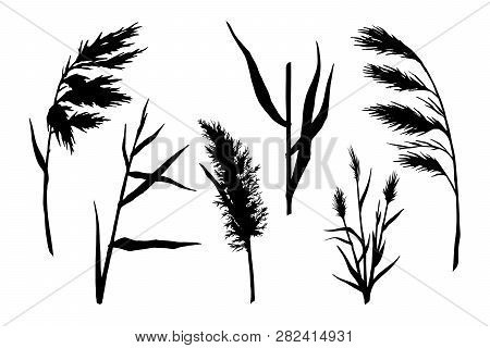 Reed Hand Drawn Sketch Vector Silhouette Set.  Water Plant Illustration. Reeds In A Pond, Doodle Sty