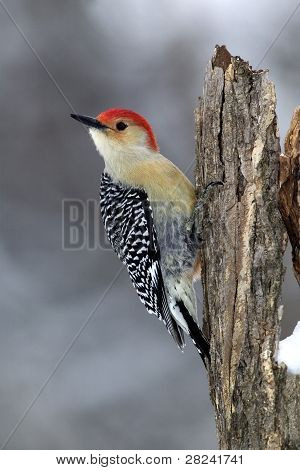 A male Red-bellied Woodpecker stands perched on a stump poster