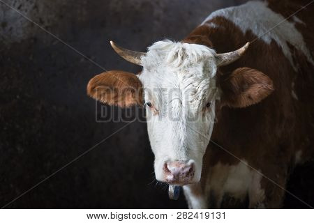 Cow In A Stall On A Farm. Meat And Milk Production, Agriculture Industry, Animal Welfare And Animal