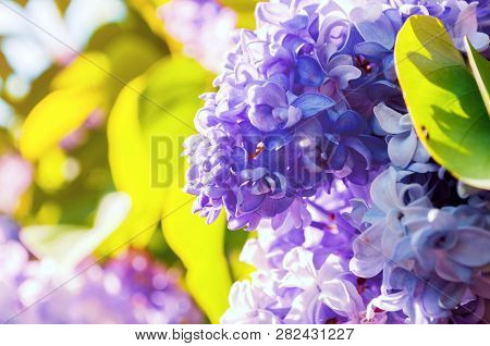 Spring background with spring lilac flowers. Blooming spring lilac flowers, spring lilac branch lit by sunlight. Selective focus at the central lilac flowers. Spring sunny garden
