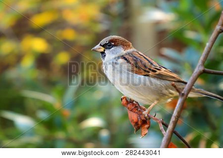 House Sparrow Male Simple Posing On Stump. House Sparrow (passer Domesticus) Sits On A Branch. Songb