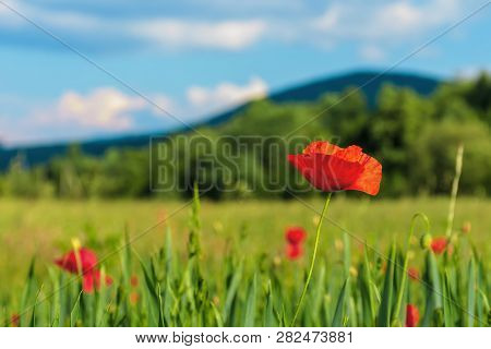 Blooming Red Poppy Flower In The Field. Beautiful Rural Scenery In Early Summer. Blurred Background
