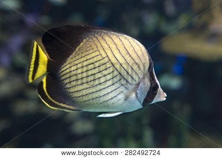 Vagabond Butterflyfish (chaetodon Vagabundus) - Coral Fish, Detail,close Up