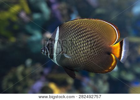 Redtail Butterflyfish (chaetodon Collare) - Coral Fish, Close Up, Detail