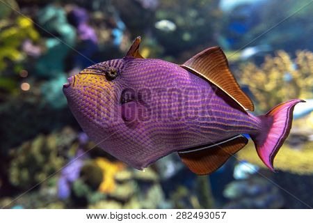 Red-toothed Triggerfish - Odonus Niger Saltwater Fish, Detail.close Up