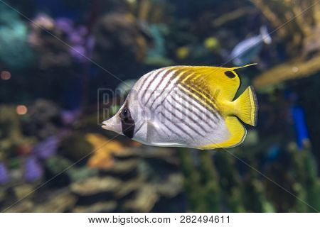 The Threadfin Butterflyfish (chaetodon Auriga) Is A Species Of Butterflyfish (family Chaetodontidae)