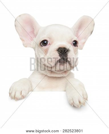 French Bulldog Puppy Above Banner, Isolated On White Background. Baby Animal Theme