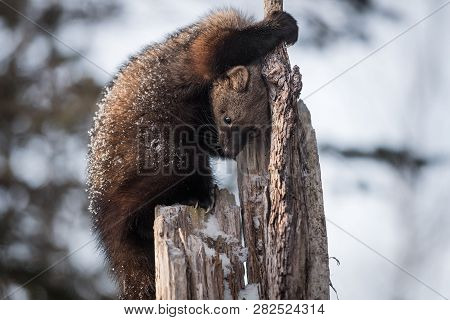 Fisher (martes Pennanti) Looks Down Tree Trunk Winter - Captive Animal