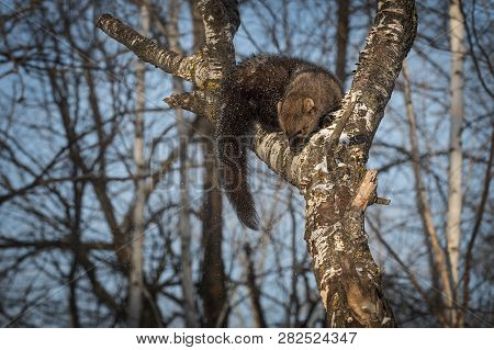 Fisher (martes Pennanti) Sniffs Down Tree Winter - Captive Animal