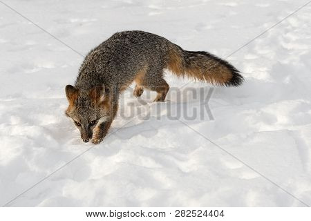 Grey Fox (urocyon Cinereoargenteus) Turns To Right In Snow Winter - Captive Animal