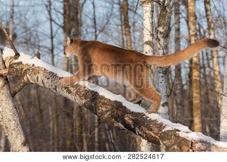 Adult Female Cougar (puma Concolor) Runs Up Tree Winter - Captive Animal