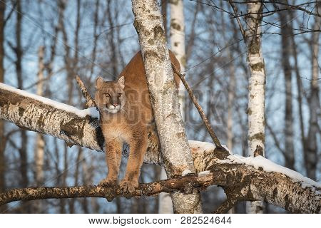 Adult Female Cougar (puma Concolor) Balances On Branches Of Tree Winter - Captive Animal