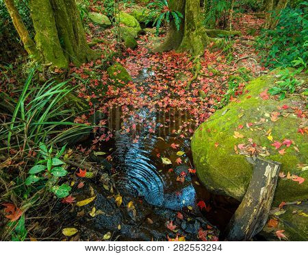 Leaves Red Maple On The Rock In The Water Stream With Green Moss Leaf Color Change Autumn Forest / A