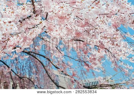 Pink Sakura For Decoration Design. Colorful Spring Landscape. Nature Bright Background. Wild Flowers
