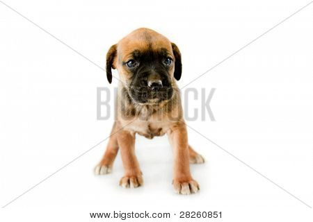 Adorable puppy Boxer on white background poster