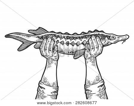 Hands With Sturgeon Fish Engraving Vector Illustration. Scratch Board Style Imitation. Black And Whi