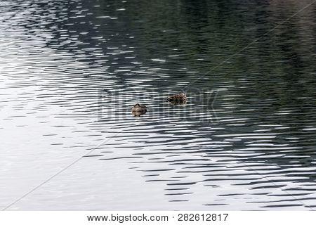 Ducks Floating On Geumpyeong Reservoir. Geumpyeong Reservoir Is Located In Gimje, Jeollabukdo Provin