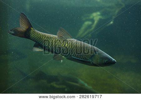 Grass carp (Ctenopharyngodon idella). Freshwater fish.