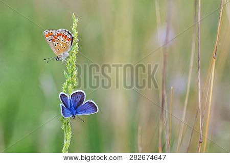 Polyommatus Bellargus, Adonis Blue Butterfly On Field