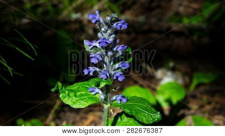 Bugleherb Or Bugleweed, Ajuga Reptans, Blossom With Bokeh Background, Close-up, Selective Focus, Sha