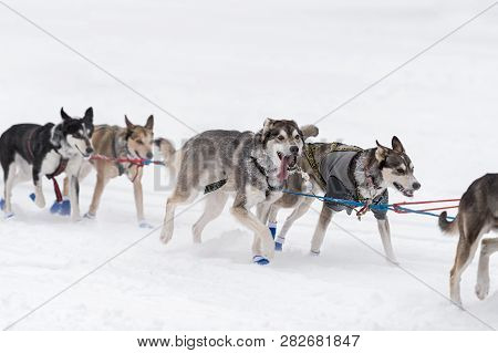 Sled Dog Team Runs By On Snowy Lake - At Sled Dog Race