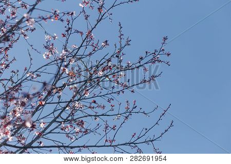 Pink Blossoms Blooming Of Branches Of A Cherry Blossom Tree, With A Blue Sky Background