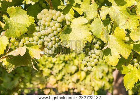 Close-up Of Ripe Bunches Of Chardonnay Grapes Growing On Vine In Vineyard
