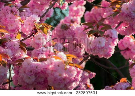 Background Of Sakura Buds. Vivid Blossom In Springtime Scenery