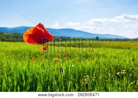 Poppy Flower In The Field. Beautiful Rural Scenery In Mountains. Sunny Day In The Late Spring. Blurr