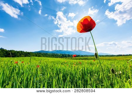 Poppy In The Field. Beautiful Countryside Scenery In Mountains. Sunny Day In The Late Spring. Fluffy