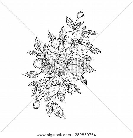 Hand Drawing And Sketch Camellia Japonica Flower. Black And White With Line Art Illustration.
