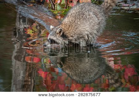 Raccoon (procyon Lotor) Leans Out Nose To Water Autumn - Captive Animal