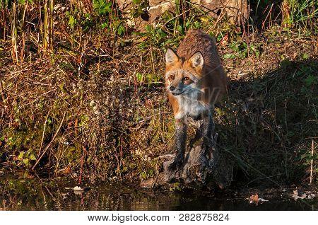 Red Fox (vulpes Vulpes) Looks Up On Shoreline Autumn - Captive Animal