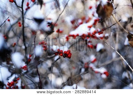 Red Bittersweet Berries Against White Snow At White Memorial Conservation Area In Litchfield Connect