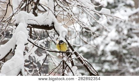 The Great Tit (parus Major) Sitting In The Tree Under Snow