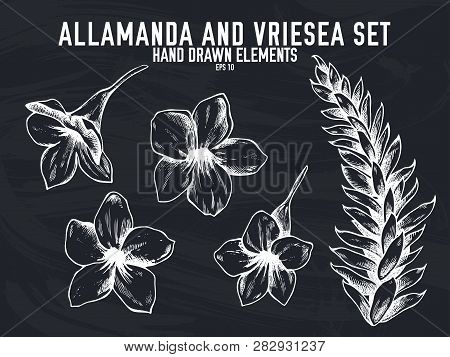 Vector Collection Of Hand Drawn Chalk Allamanda, Vriesea