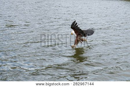 A African Fish Eagle Swopping Down With Its Tallens Out Picking Up A Fish It Caught In The River