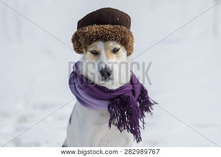 Outdoor Portrait Of White Mixed-breed Dog Wearing Comforter And Fur-cap