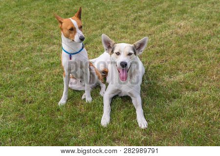 Mature Basenji Dog And Its Younger Friend Mixed Breed Dog Resting Together  On A Lawn