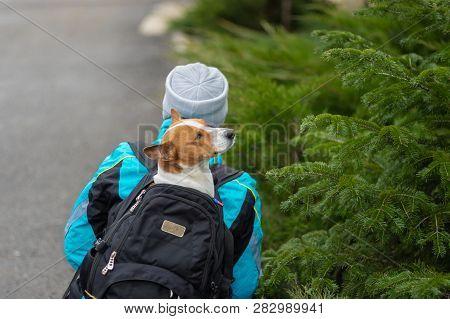 Basenji Dog Admiring Green Fir-tree While Having Nice Hike Sitting Inside Comfortable Masters Backpa