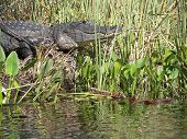 eight foot american alligator in florida everglades poster