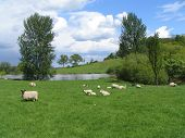 a green farmers field with grazing sheep poster