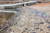 hundreds of dead kokanee salmon on the shore of lake Coeur d' Alene Idaho mid december 2011 poster